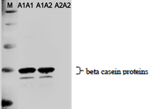 A1β酪蛋白研究