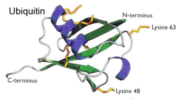 泛素碱基序列