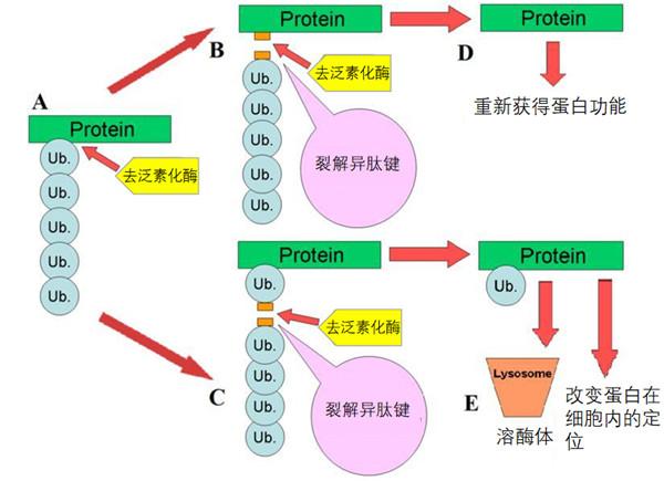 去泛素化酶