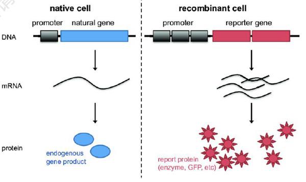 荧光素酶报告基因