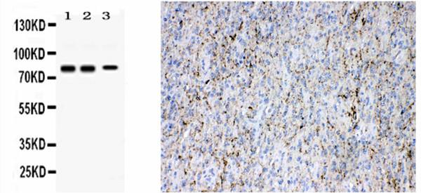突触蛋白I