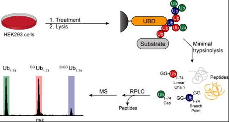 泛素化蛋白快速富集纯化