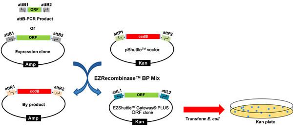 BP反应-构建入门载体