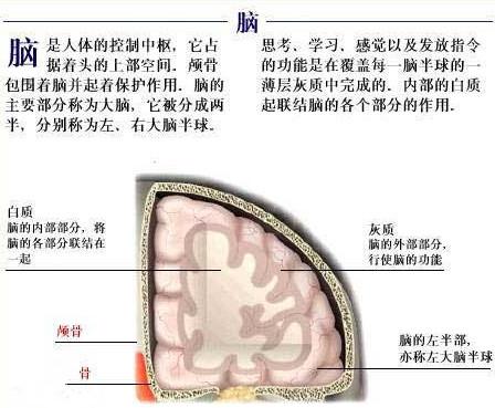 大脑的结构和功能