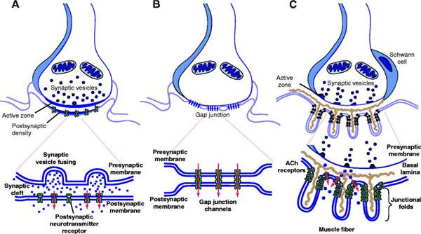 神经元的轴突传导