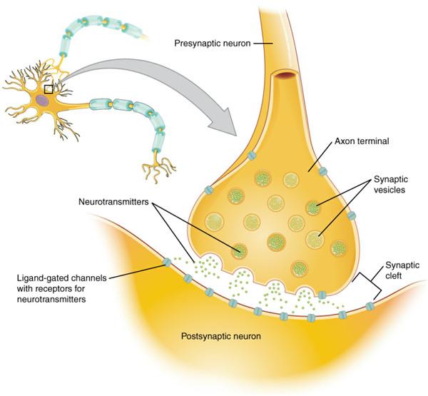 神经元信息传递