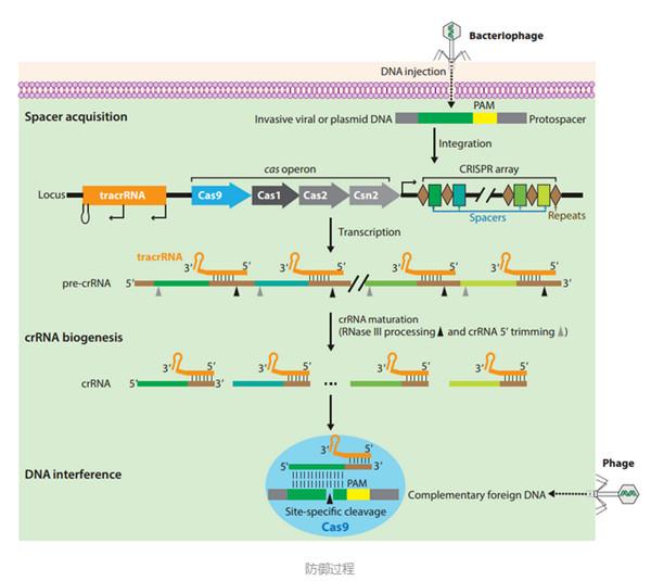 CRISPR-Cas系統