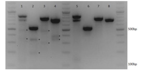CRISPR-Cas9多重靶向編輯多個基因