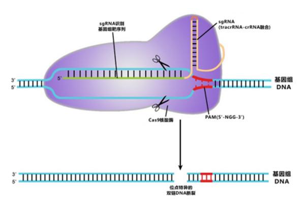 CRISPR/Cas9介導的基因組編輯原理圖