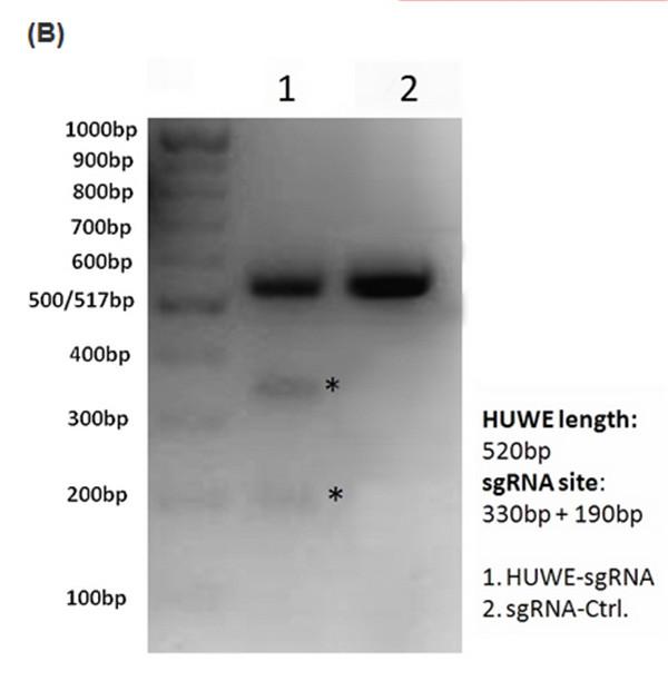 HUWEI-sgRNA/Cas9
