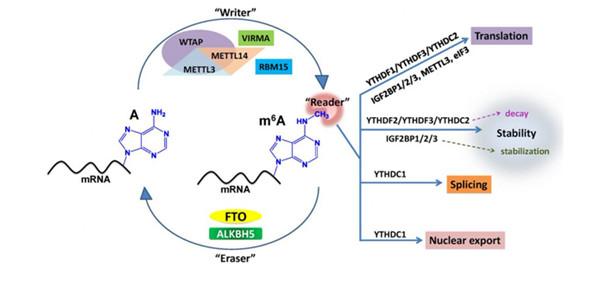 6-甲基腺嘌呤