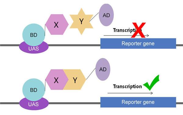 看了这篇文章你还不能区分蛋白互作的几种方法,你就来打我!