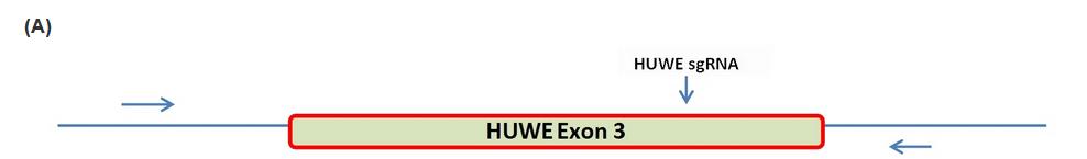 HUWEI基因
