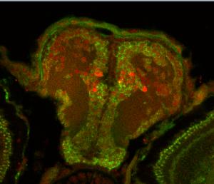 脑组织切片免疫荧光