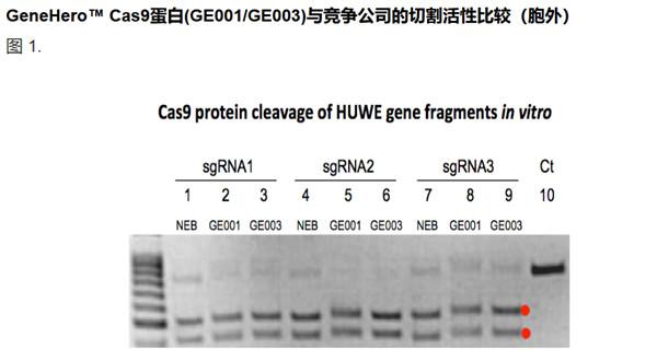 使用HUWE DNA片段作為切割模板