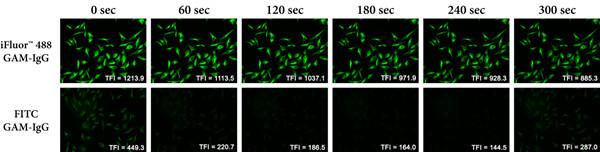 iFluor™488山羊抗小鼠IgG和FITC山羊抗小鼠IgG的光漂白速率的比較