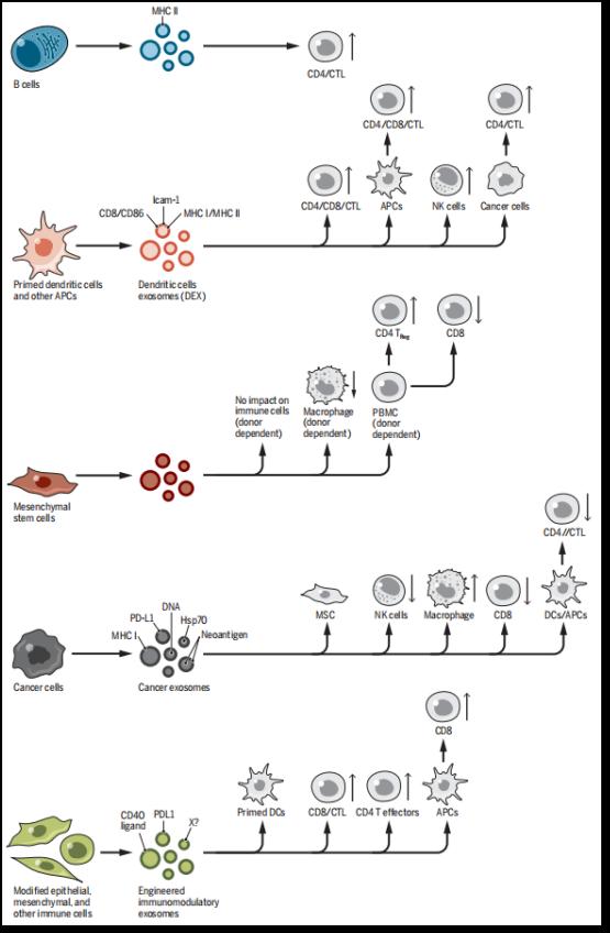 外泌体与免疫系统