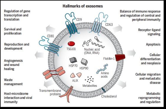 人体内具有多效功能的细胞间转运系统
