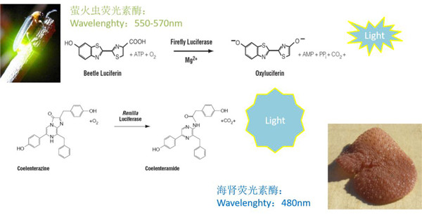 熒光素酶可以催化luciferin氧化成oxyluciferin