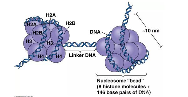 组蛋白修饰