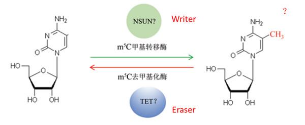 5-甲基胞嘧啶(5-mC)