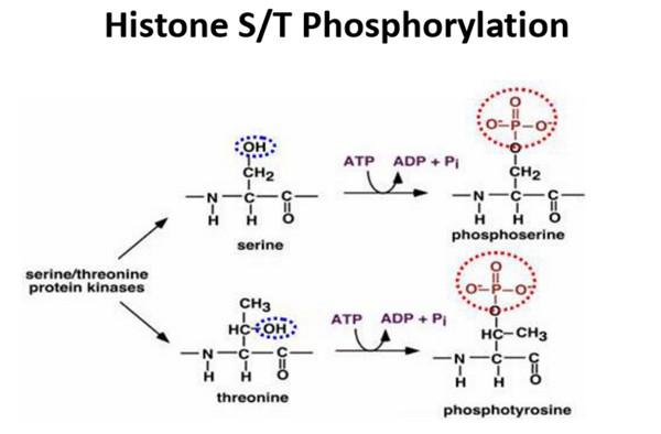 组蛋白磷酸化