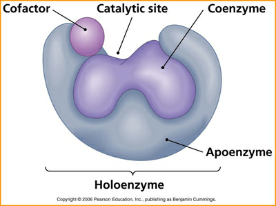 辅酶是与酶结合