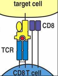 MHC I结构