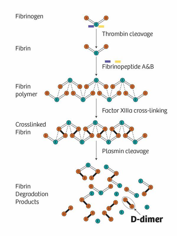 循环酶纤溶酶