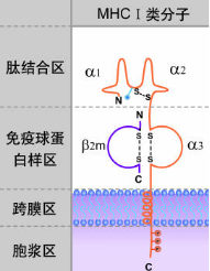 MHC I类分子