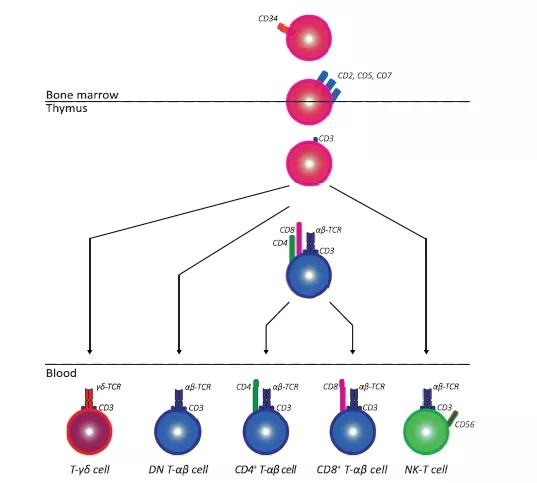 T淋巴细胞
