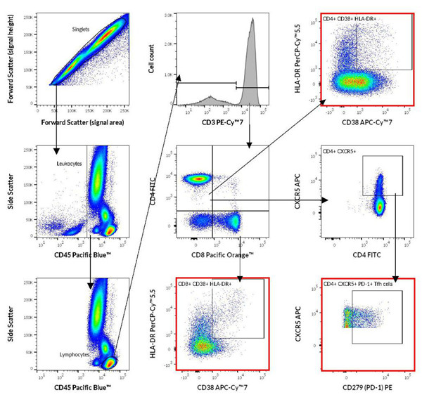 细胞毒性CD8 + T淋巴细胞