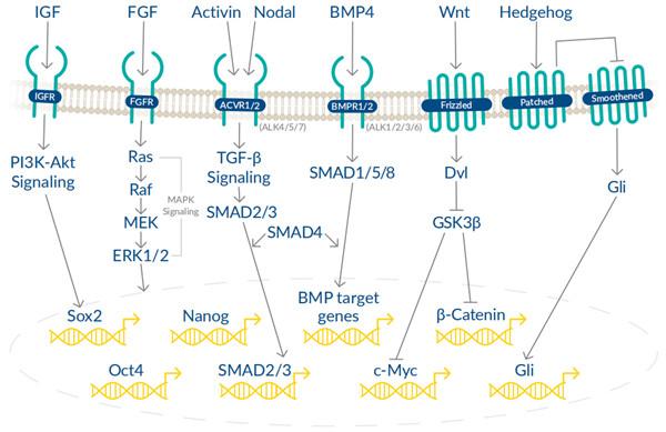 干细胞多能性调控通路