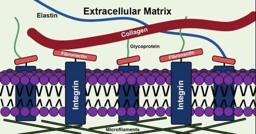 细胞-基质粘附