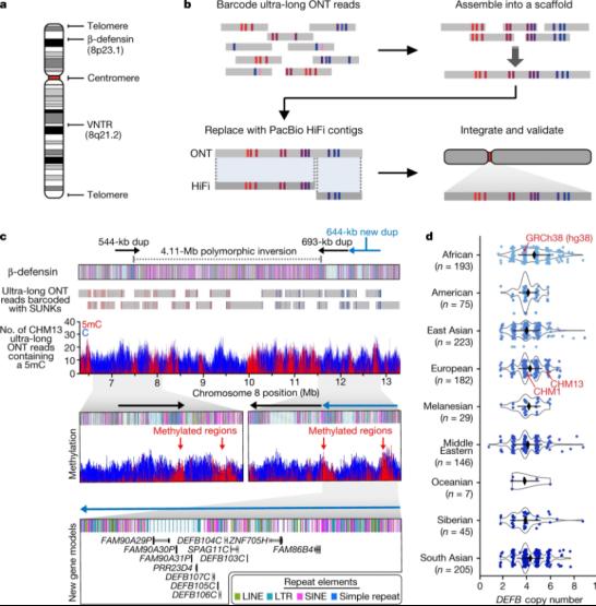 第一个完整的常染色体的结构、功能和进化