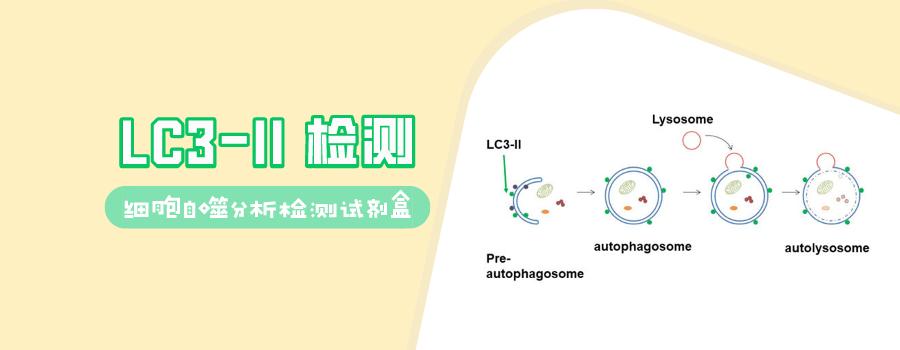 LC3-II 检测——细胞自噬分析检测试剂盒解决方案