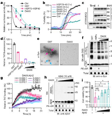新型的蛋白质折叠促进因子DAXX