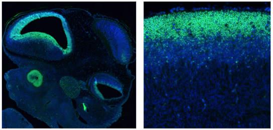 SOX2在胚胎發育過程中持續表達