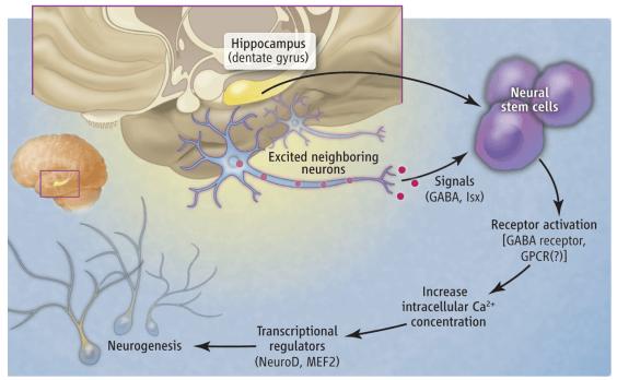 神经干细胞